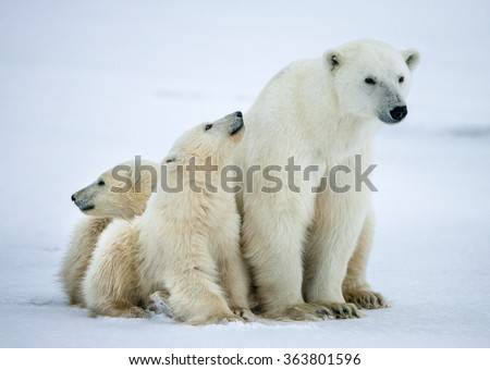Polar she-bear with cubs. A Polar she-bear with two small bear cubs on the snow. The polar bear (Ursus maritimus)  - stock photo