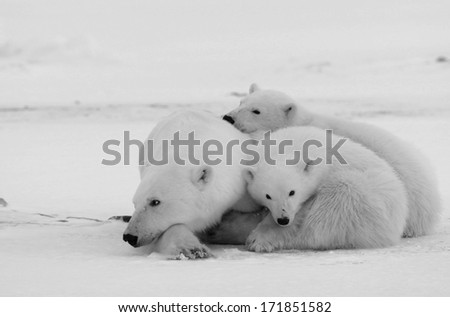 Polar she-bear with cubs. The polar she-bear  with two kids on snow-covered coast. Black and white photo - stock photo