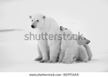 Polar she-bear with cubs. The polar she-bear  with two kids on snow-covered coast. Black and white photo. - stock photo