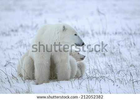 Polar Shebear with cubs in twilight  - stock photo