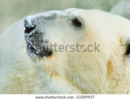 polar white bear telephoto - stock photo