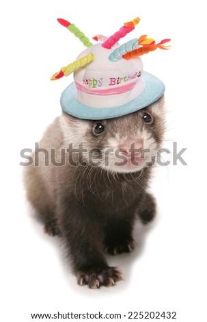 polecat ferret wearing birthday hat - stock photo