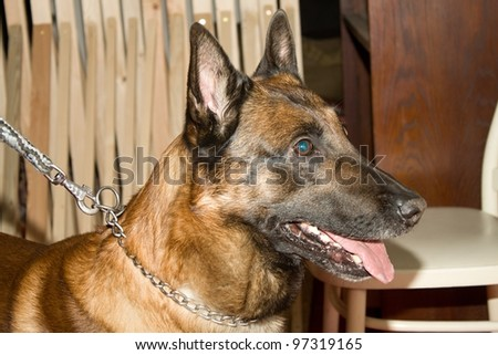 police dog in training - stock photo