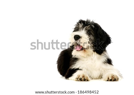 Polish Lowland Sheepdog laid isolated on a white background