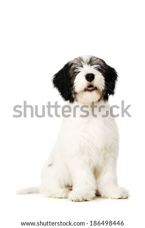 Polish Lowland Sheepdog puppy sat isolated on a white background - stock photo