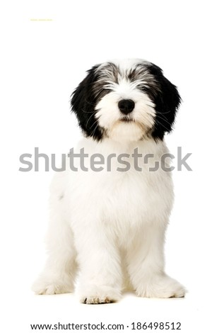 Polish Lowland Sheepdog puppy sat isolated on a white background