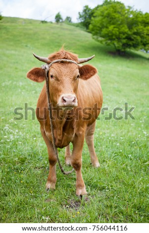 Polish red cow on a green pasture, looking at camera
