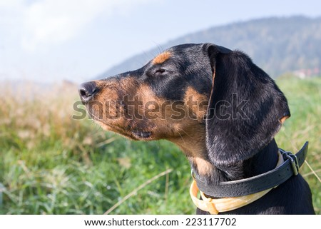 Polish Scenthound Dog on Autumn walk