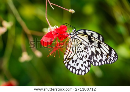 Pollen covered black and white butterfly on red flower with green background - stock photo