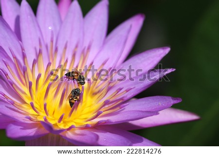 Pollen of pink Lotus and Bees
