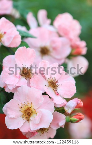 pollen of small pink rose, Clair Matin Rose - stock photo