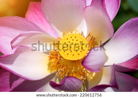 Pollen of the lotus flower (Nelumbo nucifera), Thailand. - stock photo