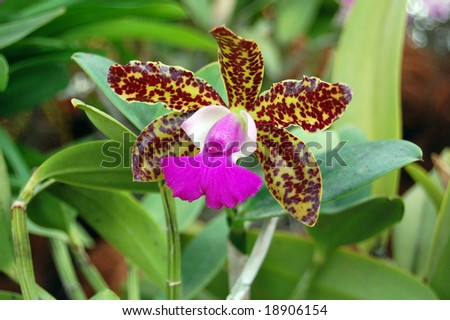 Pollinators are often visually attracted by the shape and colours of the labellum. The flowers may produce attractive odours. - stock photo