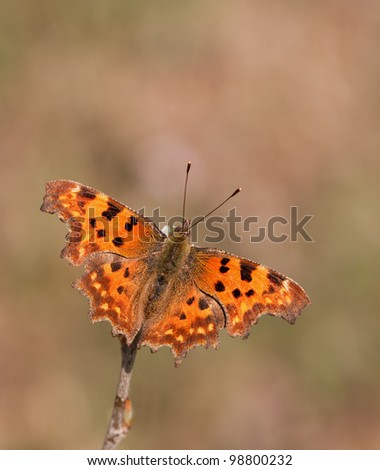 Polygonia c-album, Comma butterfly in a great soft background - stock photo