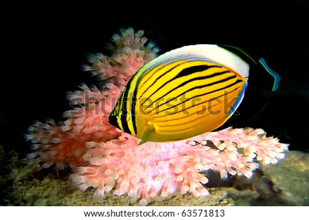 Polyp Butterflyfish, Red Sea, Egypt