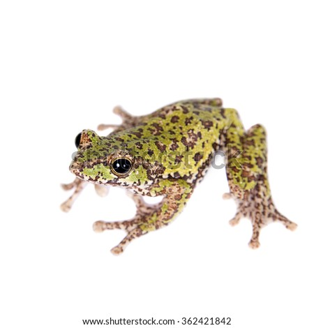 Polypedates duboisi, rare species of frog isolated on white background