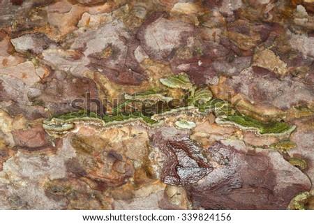 Polypore on pine wood - stock photo