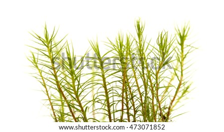 Polytrichum moss plants isolated on white background
