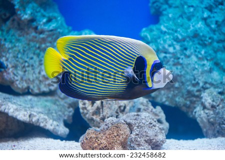 Pomacanthus imperator - emperor angelfish - saltwater fish - stock photo