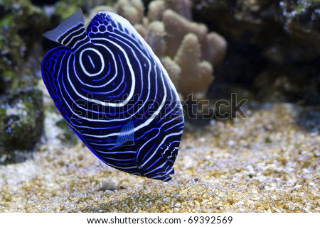 Pomacanthus navarchus blue girdled angel sea fish - stock photo