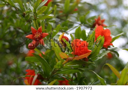 Pomegranate blossom - stock photo