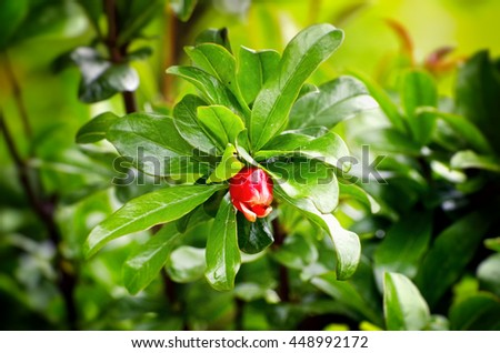 Pomegranate Blossom Over Green natural Background - stock photo