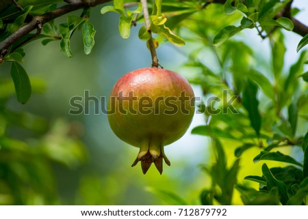 Pomegranate fruits riping on the tree in sunny day