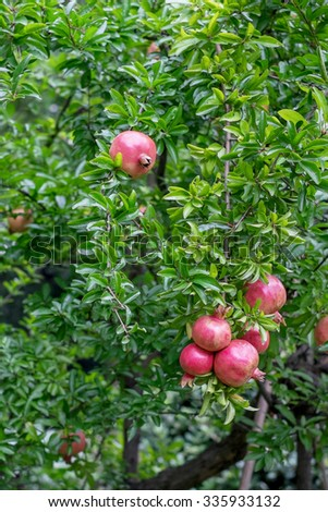 pomegranate tree - stock photo