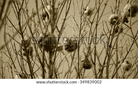 Pomegranate tree with bare twigs. Winter. Selective focus. Aged photo. Sepia. - stock photo