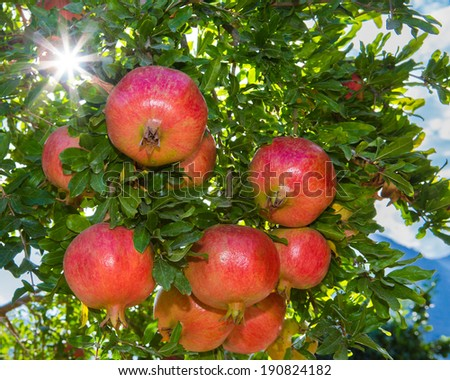 Pomegranate tree with ripe opened fruits  - stock photo