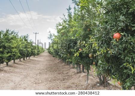 Pomegranate trees with fruits - stock photo