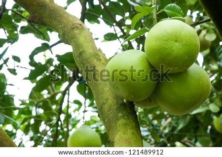 Pomelo fruit. - stock photo