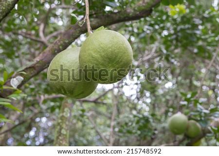 Pomelo fruit in the farm - stock photo