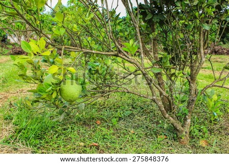Pomelo fruit in the farm - stock photo