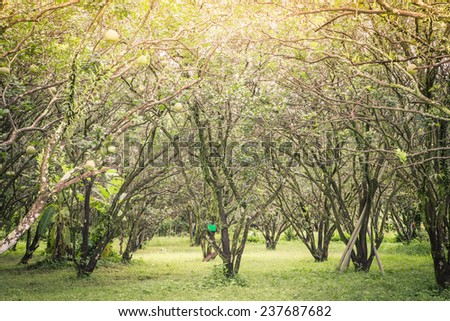 Pomelo fruit in the farm at morning - stock photo