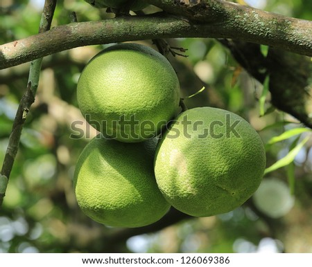 pomelo tree with bokeh background - stock photo