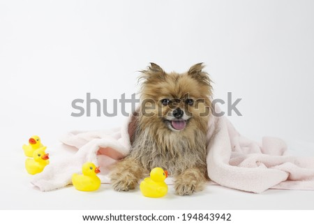 Pomeranian after a bath smiling dog with rubber duck wet towel - stock photo