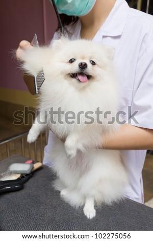 pomeranian after shower with comb