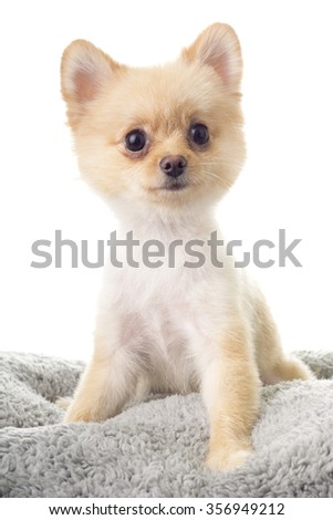 Pomeranian ala Little Bear Hair Cut - stock photo