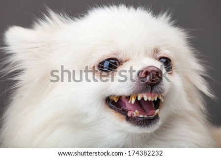 Pomeranian bark - stock photo