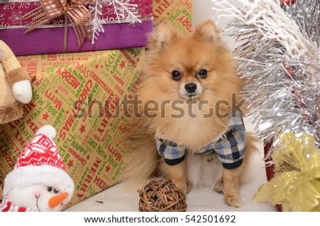 pomeranian, christmas, dog