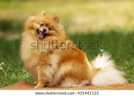 Pomeranian cute little dog