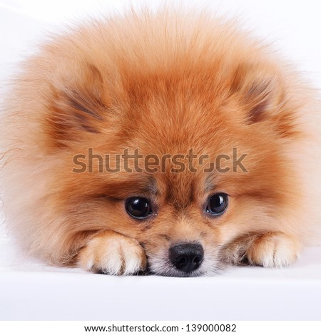 pomeranian dog - stock photo