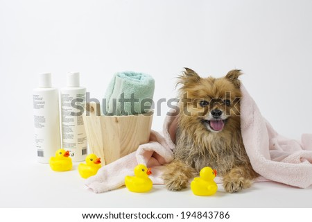 Pomeranian dog after a bath with towels and rubber ducks - stock photo