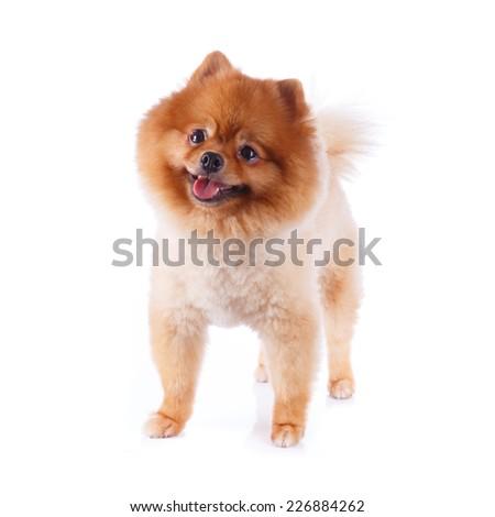 pomeranian dog brown short hair on white background - stock photo