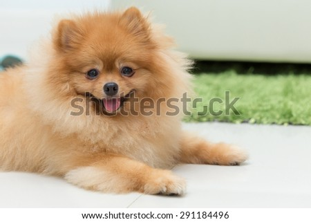 pomeranian dog cute pets happy in home