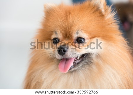 pomeranian dog cute pets happy in home - stock photo