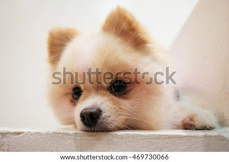 pomeranian dog cute pets sleeping on white stairpomeranian dog cute pets sleeping on white stair. Soft focus