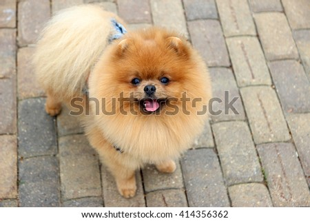 Pomeranian dog in a park. Cute, beautiful dog - stock photo