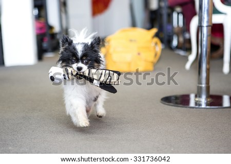 Pomeranian dog in a shop - stock photo